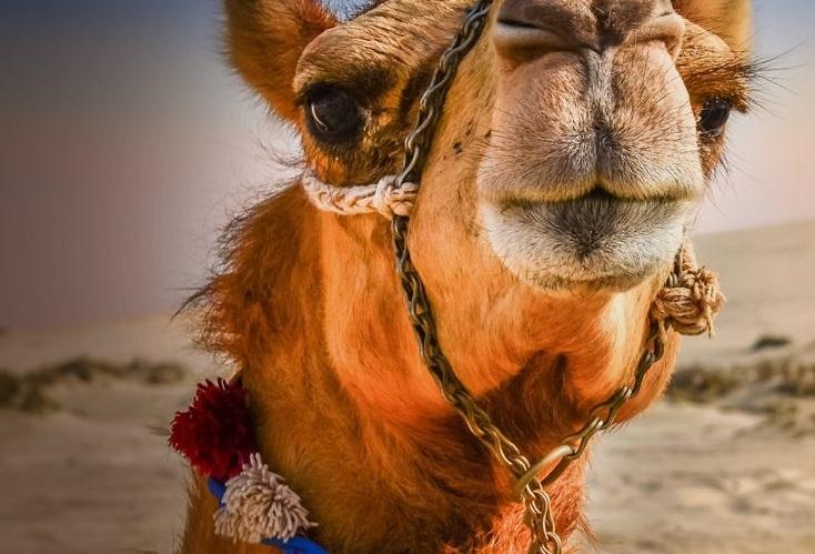 В Красноярске за 150 тысяч продают верблюда | НГС24 - новости ... | 499x734